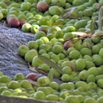'Tis the season: Olive picking in Israel