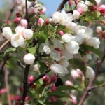 Spring in Israel – time for cherry and apple blossoms in the Golan Heights!