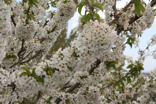 cherry blossoms in the Golan Heights
