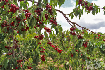 cherry picking in Israel