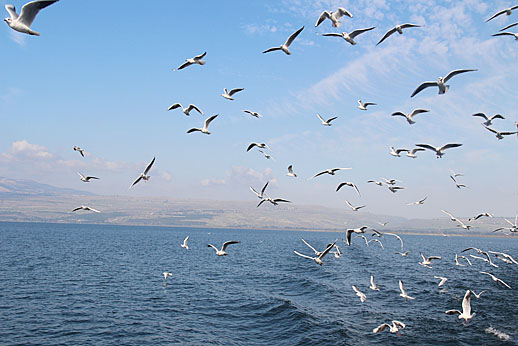 Sea of Galilee seagulls