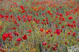 Spring Israel Kalanyot