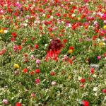 Another one for all the family: the annual flower picking festival on Moshav Kedma